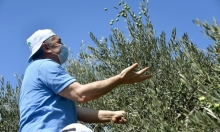 مستوطنون يعتدون على قاطفي زيتون قرب رام الله