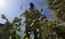 سوء الطقس وبكتيريا قاتلة: تراجع إنتاج زيت الزيتون بإيطاليا