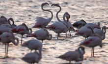 """طيور النحام أو كما تُعرف بطائر """"فلامينغو"""" قرب الطنطورة"""