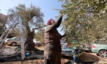 قطف الزيتون في مخيم شعفاط
