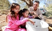 الأطفال يشاركون في قطف الزيتون في مخيم شعفاط