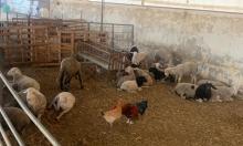أم بطين: مصادرة 150 رأس غنم من شخص من ذوي الاحتياجات الخاصة
