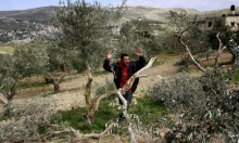 استهداف ممنهج لأشجار الزيتون في الضفة