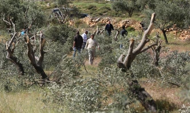 جيش الاحتلال ومستوطنون يقتلعون ألفي شجرة زيتون من أراض فلسطينية