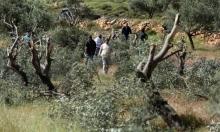 مستوطنون يسرقون 130 شتلة زيتون في نابلس