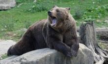 فرنسا تمنع ترهيب الدببة البنيّة بإطلاق القنابل الصوتية