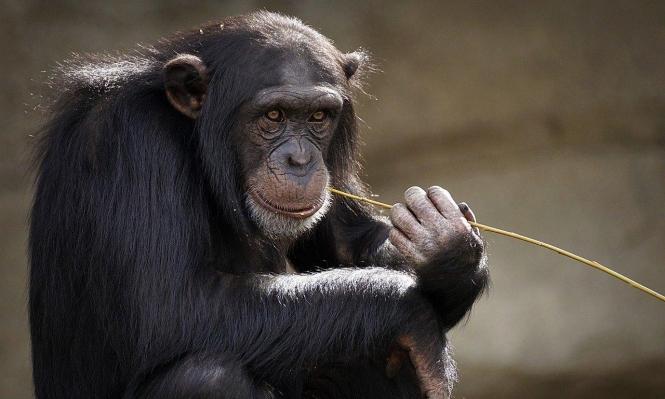 تلقيح قردة ضد كورونا في حديقة حيوانات أميركيّة