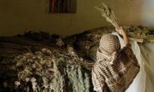 المغرب تسعى للاستفادة من زراعة القنب