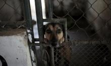 روسيا تسجّل أوّل لقاح في العالم للحيوانات ضدّ كورونا
