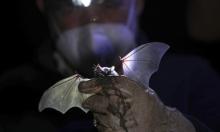 بريطانيا: اكتشاف فيروس تاجيّ شبيه بكورونا في خفافيش