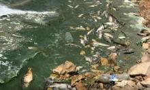 """بحيرة القرعون بلبنان: استخراج أطنان من أسماك نافقة وتحذير من """"مرض وبائيّ خطير"""""""