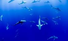دراسة: أسماك القرش قادرة على رصد الحقل المغناطيسي الأرضي