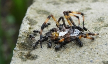 """دراسة: """"رائحة النمل تشكّل عاملًا طاردًا لبعض العناكب"""""""