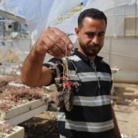 غارات الاحتلال الإسرائيلي حصدت ثمار الفلاحين الغزيين