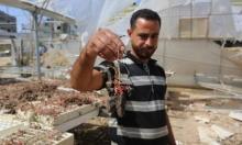 غارات الاحتلال الإسرائيلي حصدت ثمار الفلاحيين الغزيين