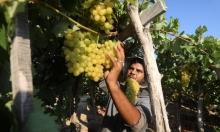 قطيف فاكهة الصيف من غزة