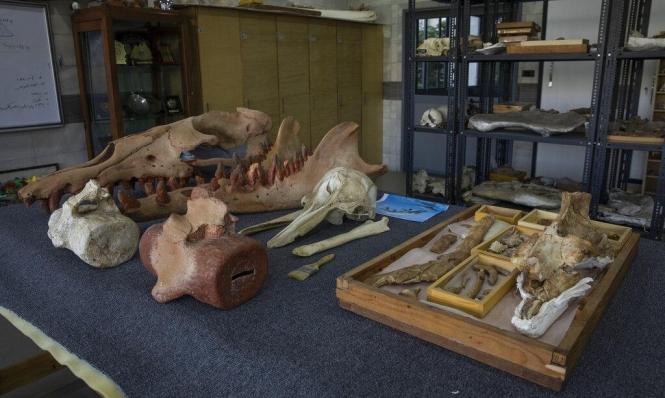 علماء: أحفورة الحوت ذي 4 أرجل المكتشفة في مصر تعود لنوع غير معروف