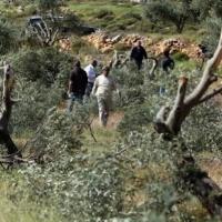 اعتقالات بالضفة ومستوطنون يقتلعون مئات أشجار الزيتون بالمزرعة